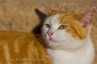 photo of Cute Ginger White Cat Felis Catus Animal