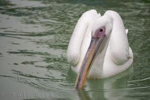 photo of Great White Pelican Picture