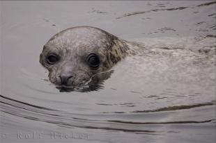 photo of Grey Seal
