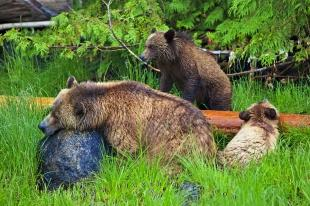 photo of Grizzly Bear Family Hicker Photo Tour