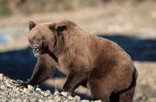 photo of Grizzly Bear Images
