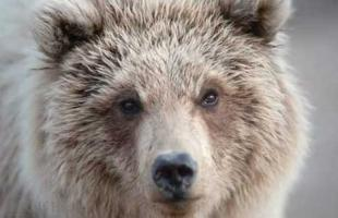 photo of Grizzly Bear Pictures