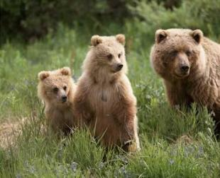 photo of Grizzly Bear Family Denali National Park