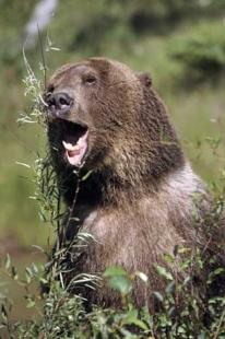 photo of Grizzly Bear Growling
