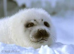 photo of White Newborn harp seal pup