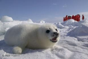 photo of Harp Seal Baby Annual Atlantic Hunt Gulf Of St Lawrence