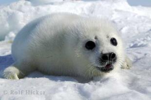 photo of harp seal pictures