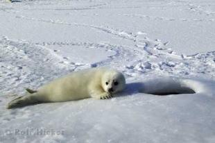 photo of Harp Seal Pup Waiting for Mother