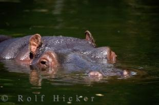 photo of Cute Hippopotamus
