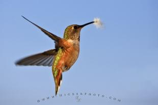 photo of Hummingbird Wildlife Picture