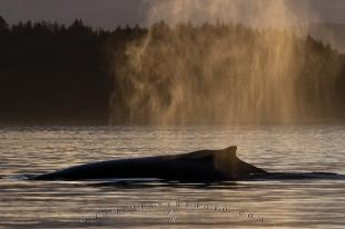 photo of Humpback Whale Spout Sunset