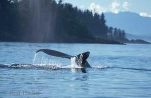 photo of Humpback Whale Alaska