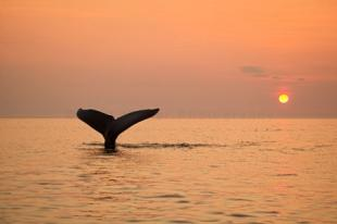 photo of Newfoundland Humpback Whale Tail Sunset