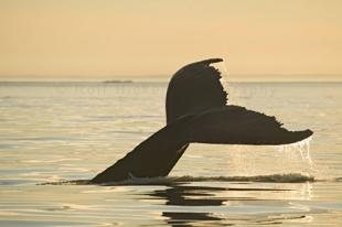 photo of Humpback Whale Tail Sunset Photos