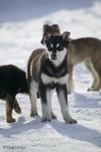 photo of Husky Puppies