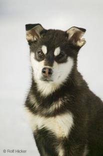 photo of Cute Black and White Husky Pup