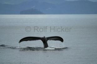 photo of humpback whale fluke
