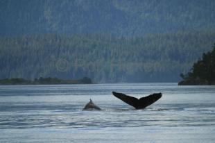 photo of humpback whale cow and calf