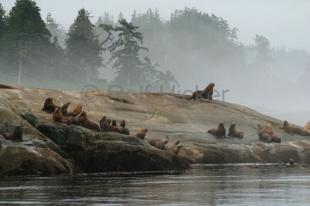 photo of Stellers Sea Lions