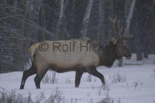 photo of Wapiti Elk