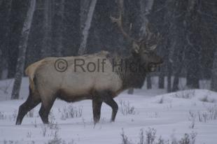 photo of Elk