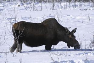photo of Female Moose Snow Moose Pictures