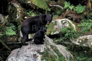 photo of black bear sow with cub