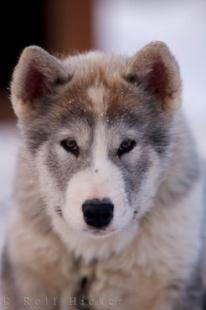 photo of Indigenous Canadian Eskimo Dog Puppy Churchill Manitoba Canada