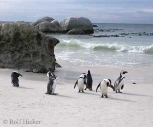 photo of Jackass Penguins