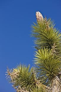 photo of Joshua Tree Flower Panicle