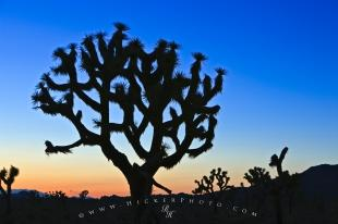 photo of Joshua Tree Silhouette Twilight