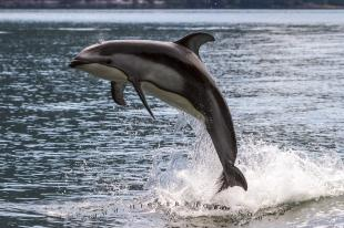 photo of Jumping Pacific White Sided dolphin