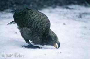 photo of Kea Bird New Zealand Parrot