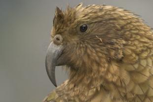 photo of Kea Pictures