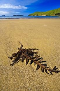photo of Kelp Titirangi Bay Marlborough Sounds