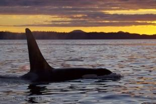 photo of Killer Whale Beauty At Sunset British Columbia Canada