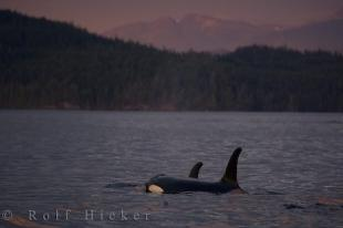 photo of Killer Whale Couple Vancouver Island Sunset