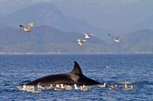 photo of Transient Killer Whale And Seagulls After Kill