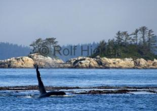 photo of Killer Whale With Scenery