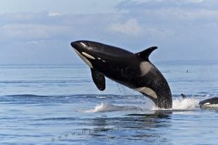 photo of Killer Whales Pictures