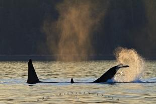 photo of Whale Watching Orca Killer Whales Playing Sunset