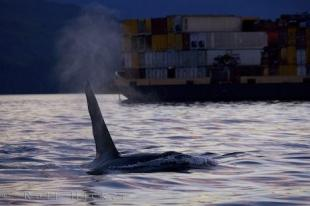 photo of Killer Whales Waterways Vancouver Island BC
