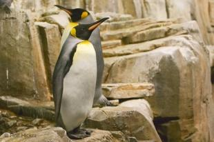 photo of King Penguin