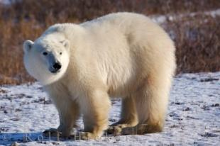photo of Polar Bear Worlds Largest Land Predator Threatened Species