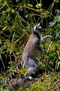 photo of Picture Of A Lemur Catta
