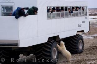 photo of Manitoba Polar Bear Tundra Buggy Tours
