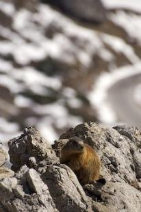 photo of Marmot Picture Italy