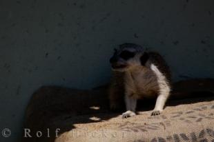 photo of Meerkat Animal picture