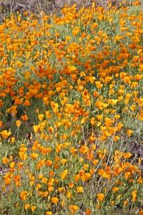 photo of Mexican Gold Poppies