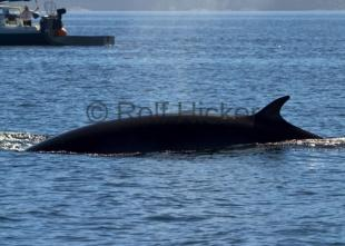 photo of Minke Whale